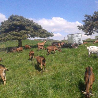 Les chèvres sous le pin parasol