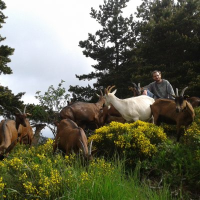 Les chèvres dans les genêts