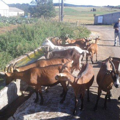 Les chèvres au bassin du village